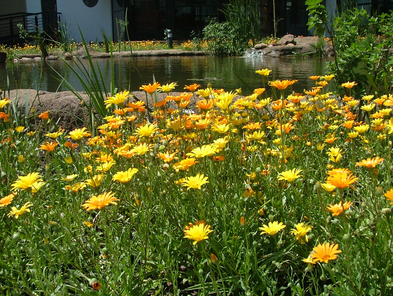 African daisies contrast with water beyond
